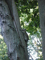 raccoon up the linden tree