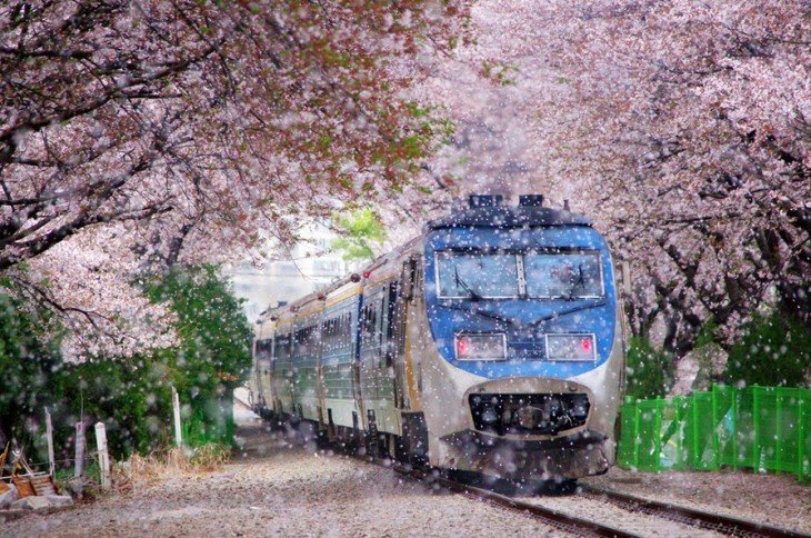 tren atravezando tunel de cerezos