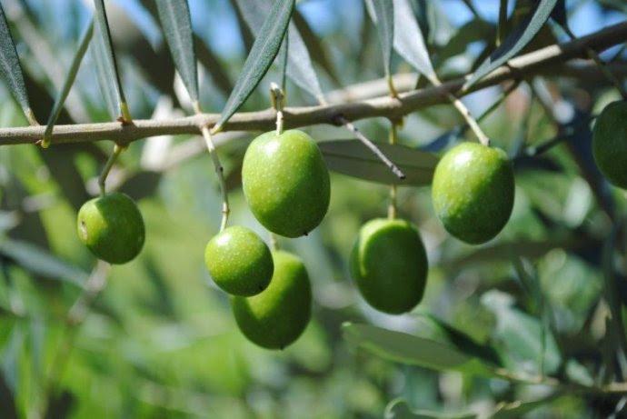 Resultado de imagem para oliveiras fotos