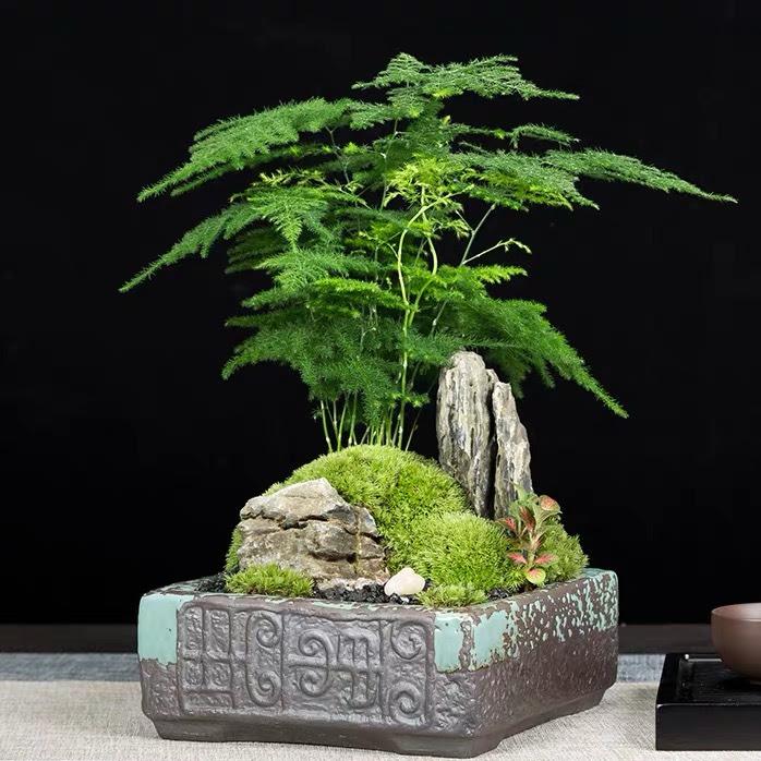 Bonsai Fern Tree Bonsai Tree