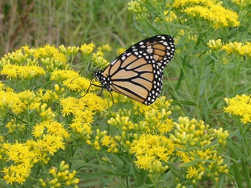 monarch butterfly on yellow bedstraw