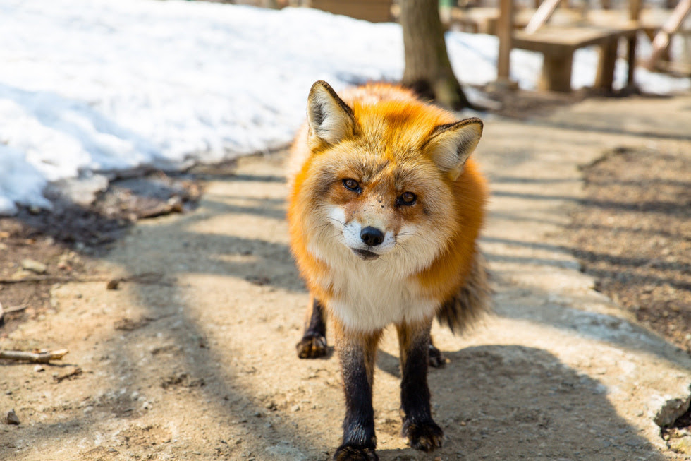 http://atlasobscura.tumblr.com/post/110459682356/zao-fox-village-a-petting-zoo-in-shiroishi