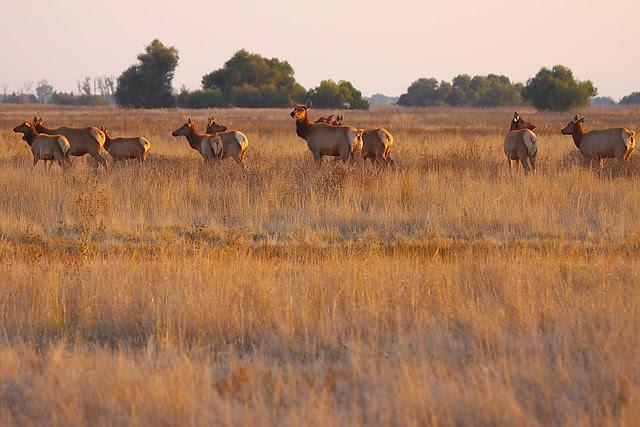 IMG_4348 Tule Elk, San Luis National Wildlife Refuge