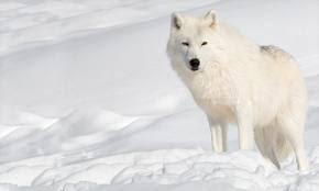 Lobos Y Humanos Lobopedia