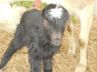 Closeup of Brand New Hannah Goat Kid