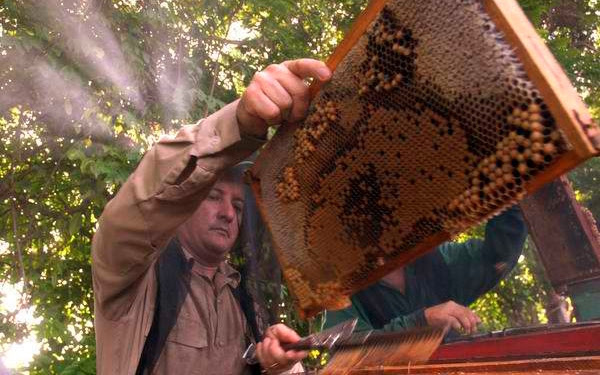 Apicultores de la provincia de Ciego de Ávila acopiaron 74 toneladas de miel de abeja durante enero y febrero, superior en un 13 por ciento a lo previsto con destino a la exportación de un alimento que favorece a la economía cubana y posee altos precios en el mercado exterior.