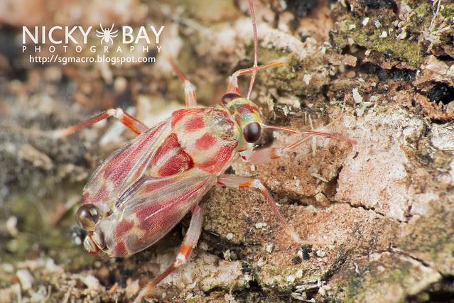 Mirid Bug? (Miridae) - DSC_8477