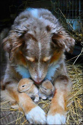 My dog Rags did this with a baby bunny when I was a kid - saved it's life....wonderful memory!