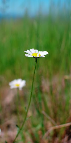 Wild Daisy by dcclark