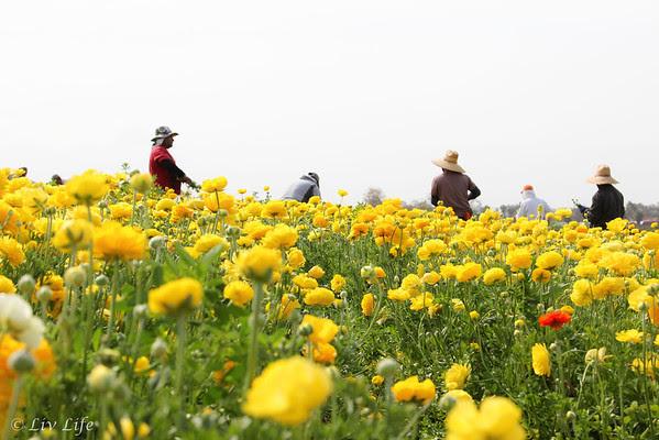 Yellow Ranunculus and farm workers, Carlsbad Flower Fields