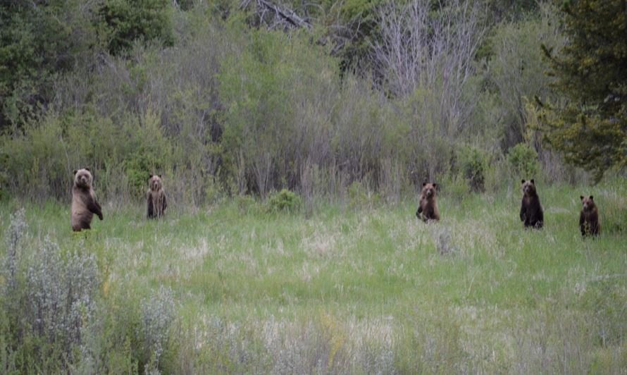 5 Grizzly Bears off North Fork Highway. Photo by Ashley Southworth