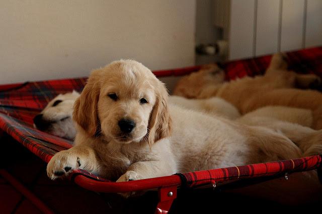 Buy Golden Retriever Puppies For Sale In Australian Capital Territory Australia