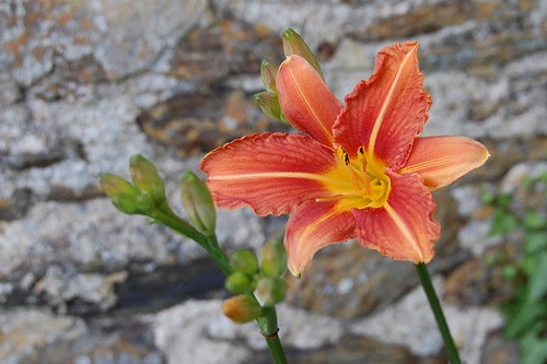 First day lily