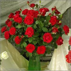 Rosa 'Forever' - Róża