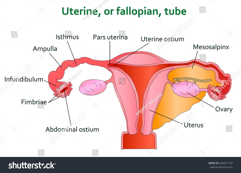 Uterine Diagram Illustration Stock Illustration 436571152 ...