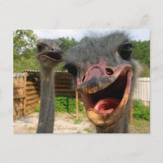 Ostrich What's Up Couple Postcard postcard
