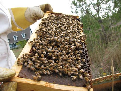 HoneyBees by D.Broberg