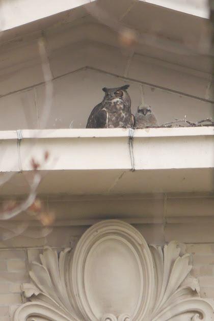 Ed Gaillard: birds &emdash; Great Horned Owls, Bronx NY
