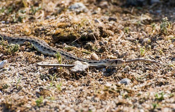 Juvenile Gopher Snake