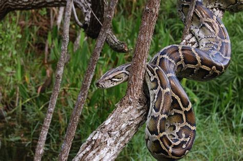Burmese Python   Snake Facts and Information