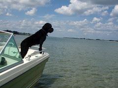skippy portugese water dog P1010017