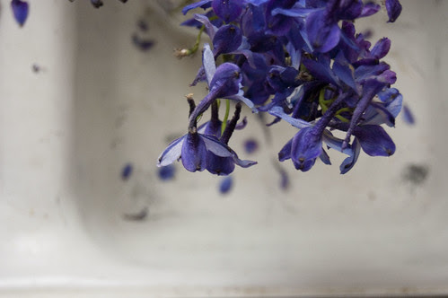 delphiniums, sink