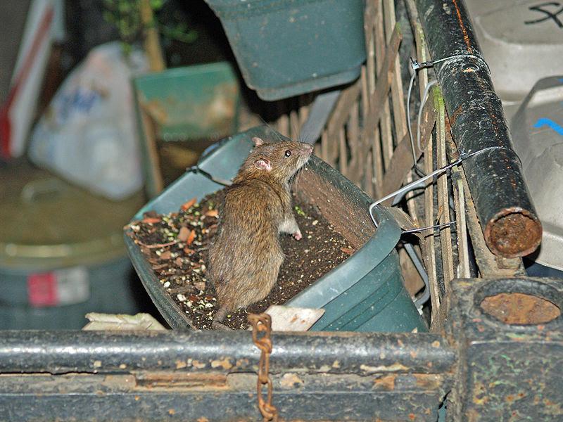 File:NYC Rat in a Flowerbox by David Shankbone.jpg
