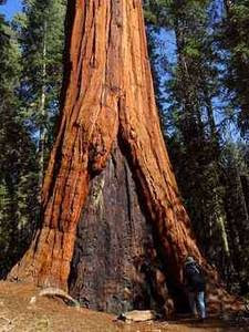 Free Photo of Giant Sequoia Tree in SequoiaNational Forest Park. Click Here to Get Free Images at Clipart Guide.com