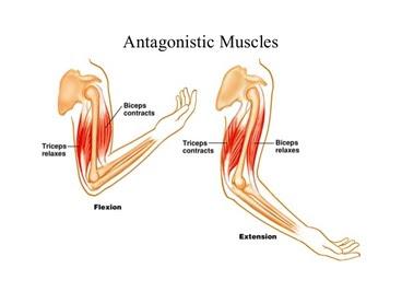 skeletal muscle 13 638