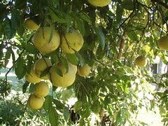 grapefruits 1