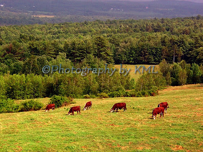 cows grazing in a green pasture