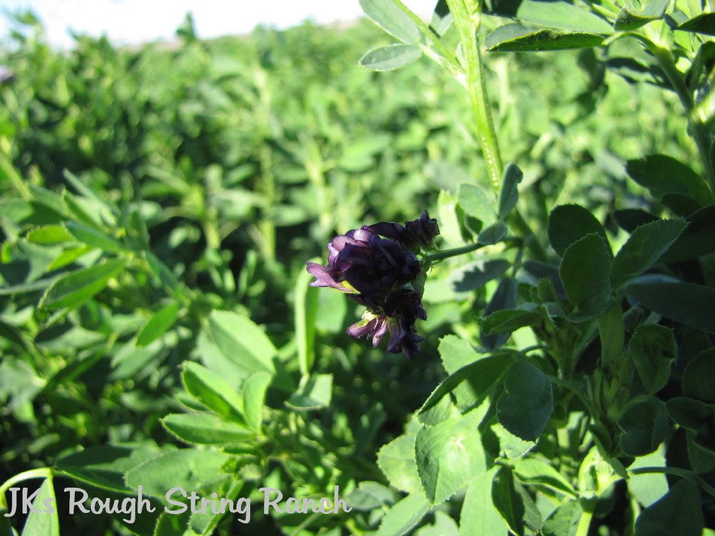 Alfalfa Bloom