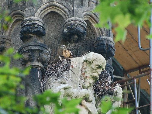Cathedral Red-Tail Nestlings