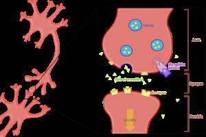 Neuron synapse during neurotransmitter re-upta...