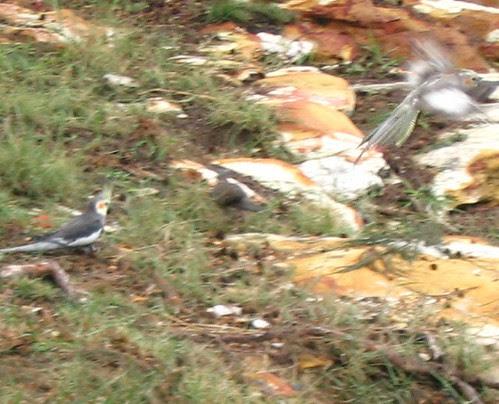 A pair of Cockatiels