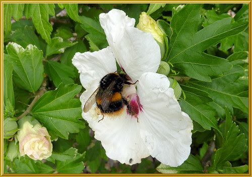 Bumble Bee on Hibiscus Flower