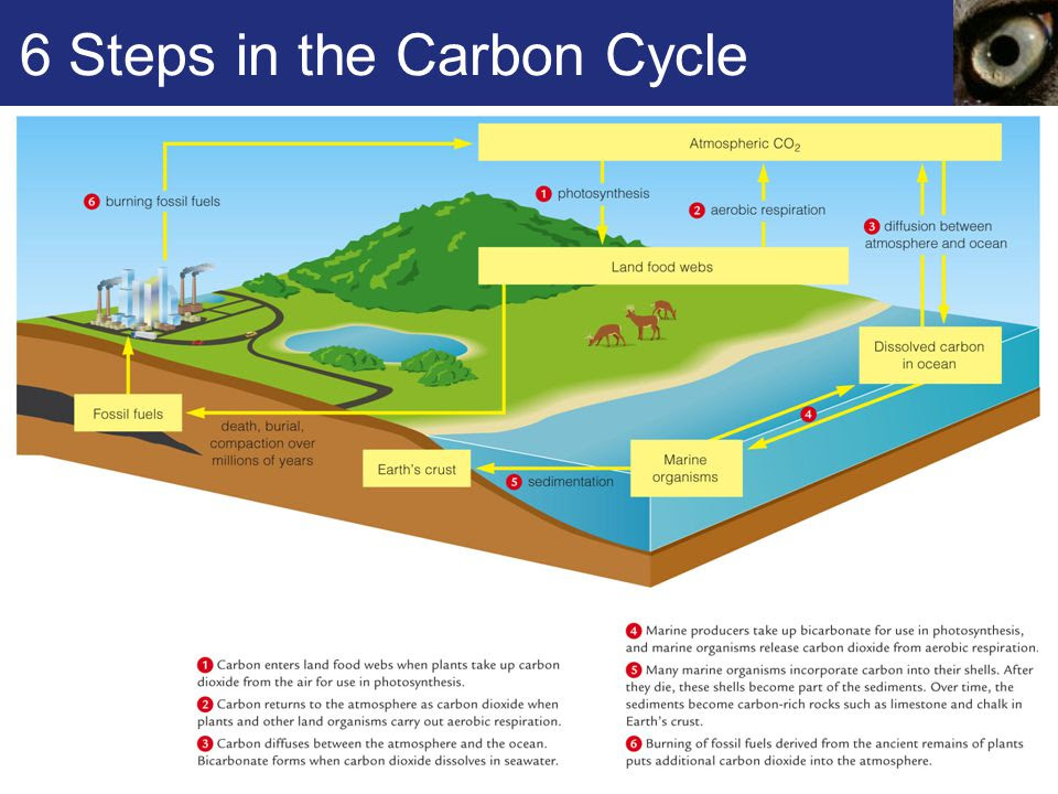 6+Steps+in+the+Carbon+Cycle