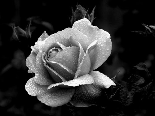 Free Black And White Roses Download Free Clip Art Free Clip Art On