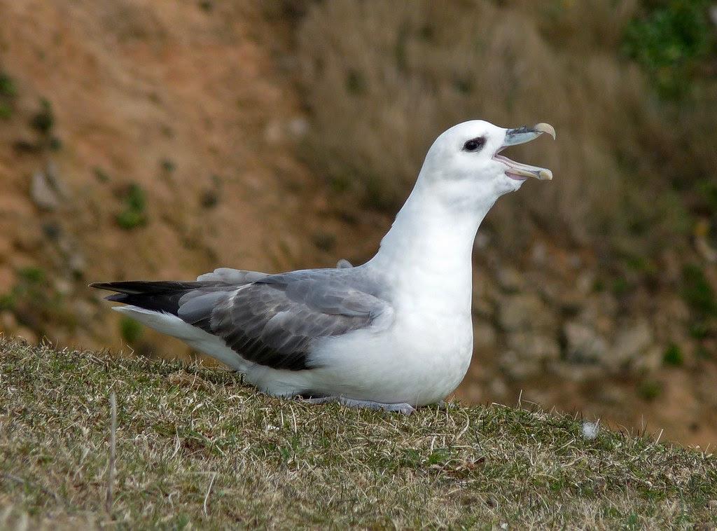 23977 - Fulmar, Stackpole Head, Pembrokeshire
