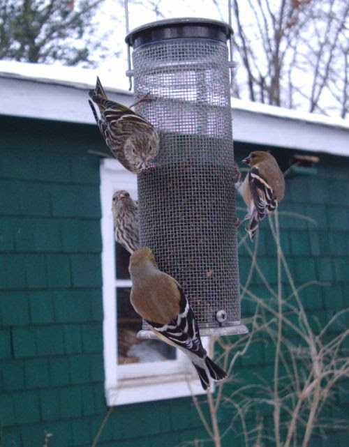 Siskins are back!