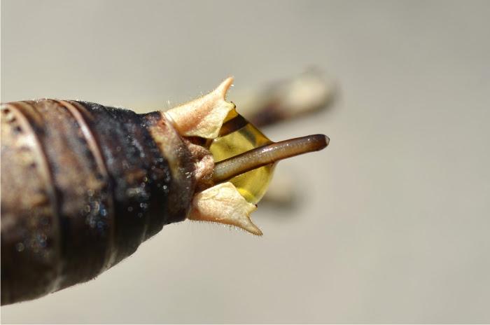 Gusano gordiano saliendo del abdomen de un grillo. Foto: Gilles San Martin (CC)