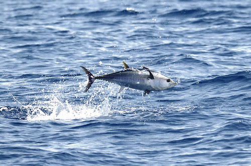 Tuna are spotted when they jump from the water