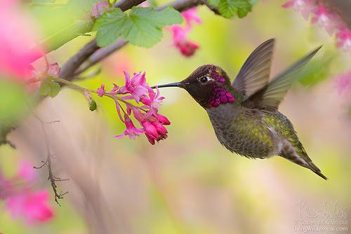Anna's Hummingbird and Flowering Currant, Snohomish County, Washington