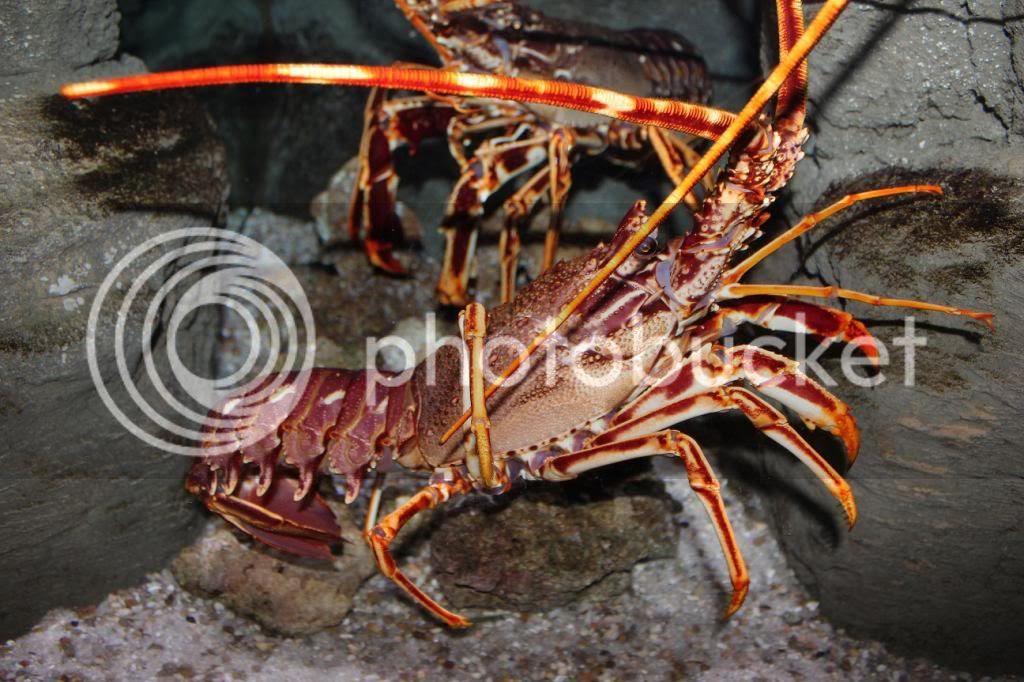 CineAqua Aquarium Crab