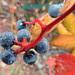 dew on the berries