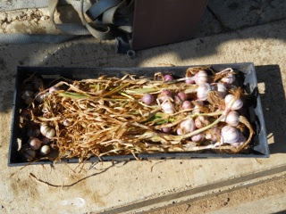 Dried Garlic Bulbs