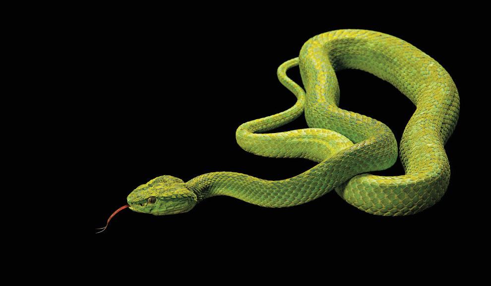Черно-зеленый ботропс, Bothriechis marchi (исчезающие, EN):