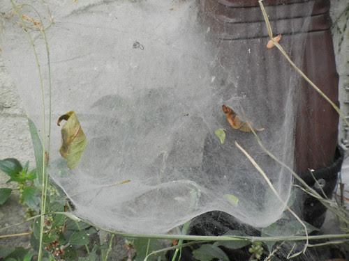 Spider Web _ 4723