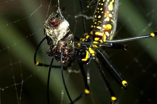 檔路的人面蜘蛛