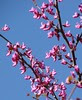 redbud tree - cercis occidentalis